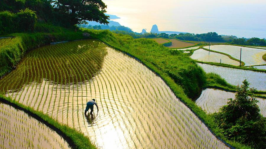 Farmer in Higashi-ushirobata Rice Terrace (Yamaguchi)