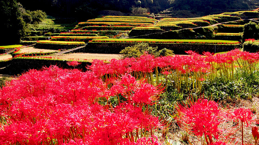 Tsuzura Rice Terrace and Cluster Amaryllis (Fukuoka)